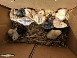 Day old barnyard cross / easter egger chicks