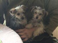 Jack Russel cross yorkie puppy's dogs