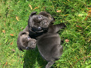 Frug Puppies (Pug x French bulldog)