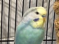 Wanted Budgie