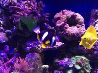 Marine reef safe Clarke clown fish