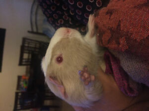 female guinea pig looking for a new home