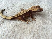 Red Harlquin created gecko baby
