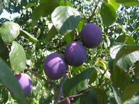 plum trees [ victoria ] for sale at a bargain price
