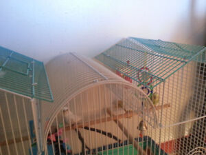 2 Budgies - Cage Included
