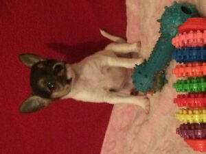 Chihuahua 1 fem 2 male tricolor 700$