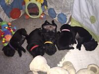 Baby pugs for sale