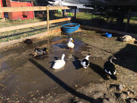 Young Duck pairs for sale
