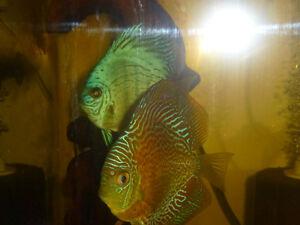 2 pairs of proven discus fish London Ontario image 3