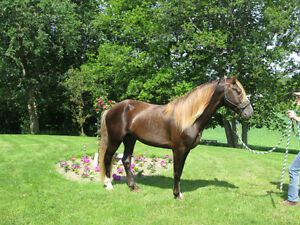 Rocky Mountain Horse For Stud Service, and  Horses For Sale!!!! Kingston Kingston Area image 6