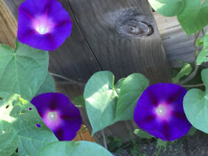 Free perennial / inside plant , morning glory for sale