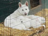 Unregistered White German Shepherd Puppies