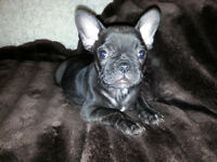 Adorable Black Female French Bulldog CKC Registered