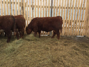 Red Angus & Hereford Bulls