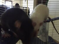 Two female rats