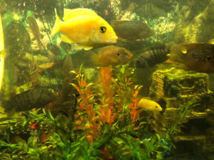 FISH TANK 90 gallons & CICHLIDS FOR SALE $5 In PanoramaHills NW