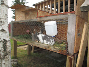 2 bunnies with cage