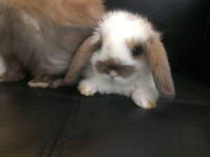 Cute and cuddly Holland lop bunnies.