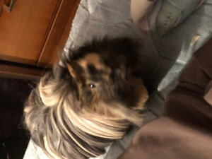 Two Female Guinea Pigs sold