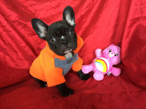 """""""Ronny"""" Gorgeous Male French Bulldog Puppy Available"""