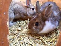 Pair of Netherland Dwarf Rabbits & Hutch With Accessories