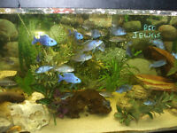 FEMALE AND MALE ELECTRIC BLUE HAP CICHLIDS FOR SALE