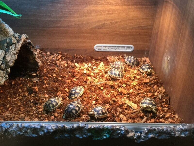 Marginated Baby Tortoises Sale Baby Marginated Testudo Tortoise United Kingdom Gumtree