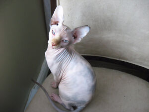 Beautiful Sphynx Kittens! Only one left!