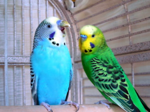 Looking for FREE male Budgies/Parakeets