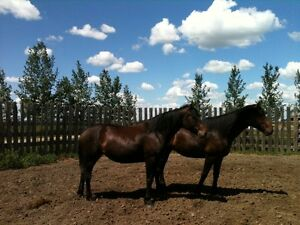 Thoroughbred-Canadian gelding and mare