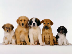 Friendly and Clean Dogs Wanted for Puppy Socializing  :D