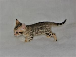 chaton bengal enregistré tica ,superbe snow et autre couleur