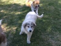 Great Pyrenese/Collie Pup looking for a forever home