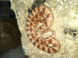 Snake | Reptiles and Amphibians in Calgary | Kijiji Classifieds