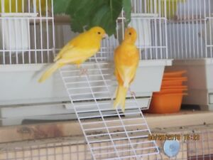 canary's  for sale