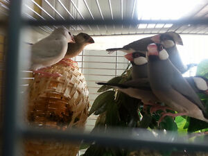 Java Rice Sparrows