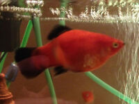 Mickey Mouse and Red Wag Platy