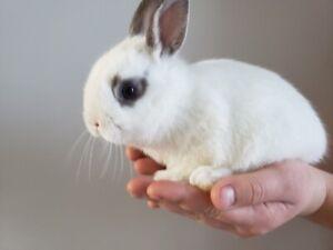 Baby Bunnies - Netherland Dwarf - only a few left!