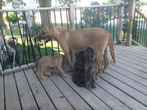 ENGLISH MASTIFF PUPS