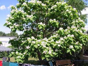 TREE, CATALPA