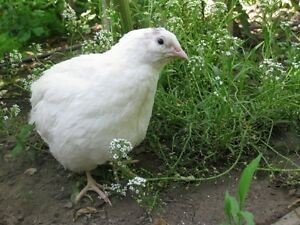 "I WANT ""  WHITE COTURNIX QUAIL Hens Laying Eggs"