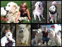 Great Pyrenees/ montagne des Pyrenees
