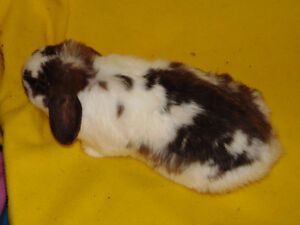 Holland Lop Female rabbit - special needs London Ontario image 6