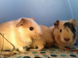 Baby guinea pigs - Long Haired!
