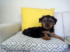 A + + Yorkshire Terrier Puppies - 2 m, 2 f