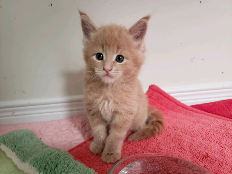 SOLD CCA REGISTERED Purebred Maine Coon kittens available