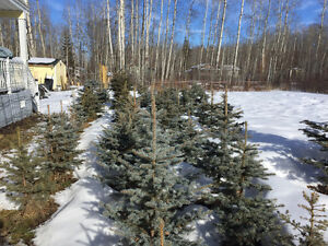 4 to 5 Foot Blue Spruce at 10.00 per ft Edmonton Area image 1