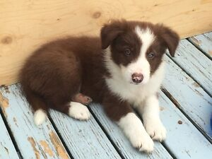 Border Collie Pups available