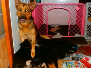 German Shepherd Puppies  be available Soon Reserve yours now !