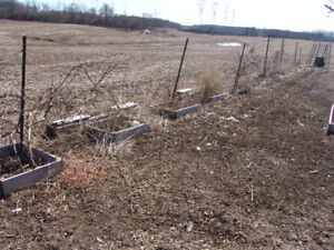 GRAPE PLANTS FOR SALE FRENCH CONCORD